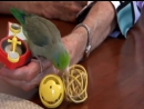 Cute Parrotlet Plays With Toys