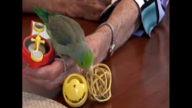 Cute Parrotlet Plays With Toys » Freewka.com - Смотреть онлайн в хорощем качестве