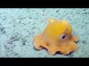 Shy Octopus Hides Inside Its Own Tentacles Nautilus Live