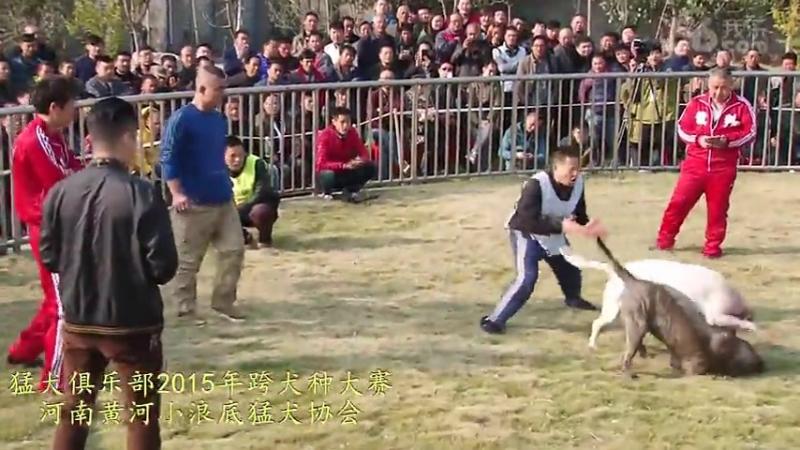 Собачьи бои Турнир в Китае 2015 аргентинский дог vs канарский дог (4)