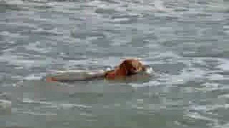 Senigallia axel golden retriever al mare