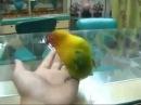 43 Этому попугаю в сексе по телефону бы работать! смешное видео