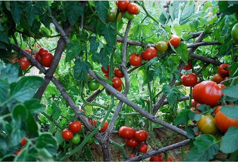 Фитофтороз на томатах и его профилактика