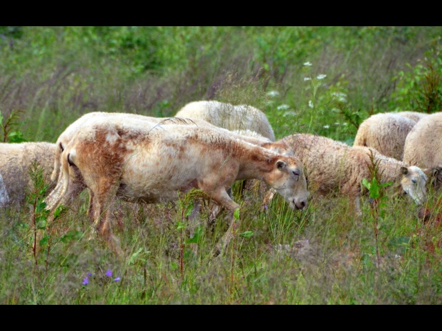 Рассказ о Катумских овцах. Фермер Лебедь О.С. Фермерское хозяйство Катумы