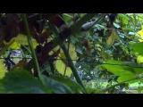 Выращивание ежевики - осенняя обрезка и простота в уходе