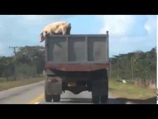 Свинья сделала невозможное!!! Прыжок, чтобы выжить...