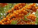 Секреты и тонкости выращивания облепихи