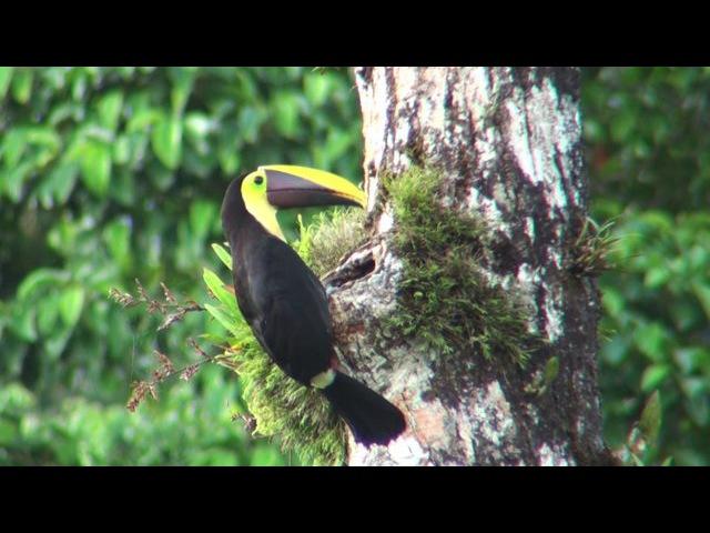Nesting Chestnut Mandibled Toucan