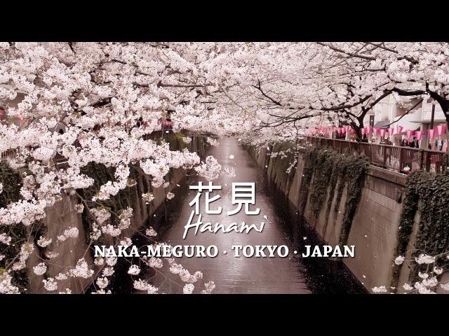Cherry Blossoms at Nakameguro, Tokyo - 目黒川の桜