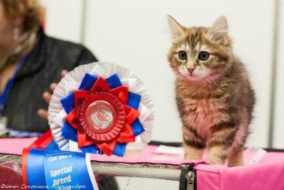 Best Kitten - 7 Arabica Savage Stars (Female) KBL fy 22 Сморщек О. Н. Камея, Иркутск