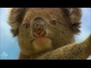Koalas Aren't Cute