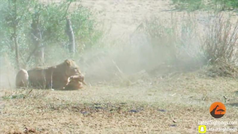 Львица ловит антилопу в полёте. Lion Catches and Kills Impala Mid-Air