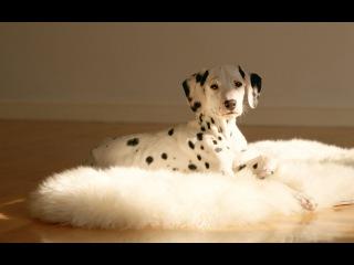 Далматин, все породы собак, 101 dogs. Введение в собаковедение.