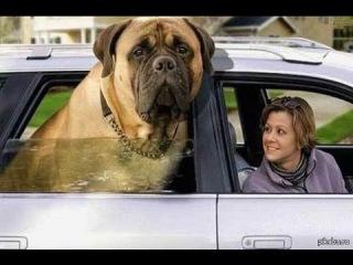 Английский Мастиф, все породы собак, 101 dogs. Введение в собаковедение.