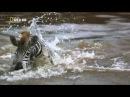 Нильский крокодил атакует зебру