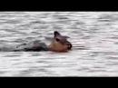 Дикие собаки и нильский крокодил охотятся на одну импалу