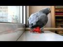 Попугай поет песню Анни Лорак