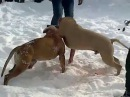 Питбуль vs Питбуль собачьи бои