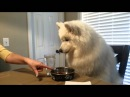 Lexi the Samoyed eats dinner at the table...