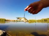 Насаживание живца на крючок для ловли щуки.Рыбалка.Fishing