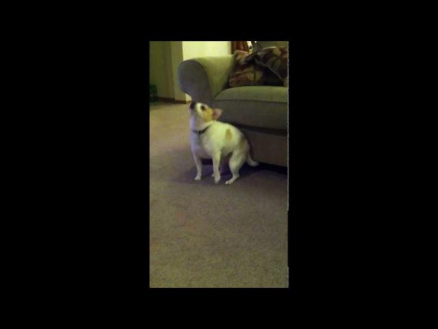 My Dog Dancing To Eminem Shake That