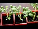Рассада томатов: от пикировки до высадки