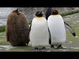 Смешные Пингвины Лучший Сбой компиляции 2014