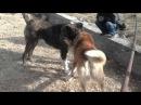 Собачьи бой симба анчих