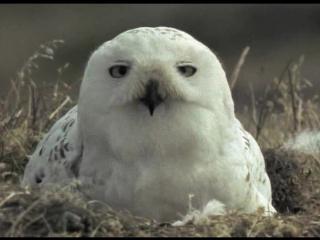 BBC: Жизнь птиц: Потребности яйца / 8 серия