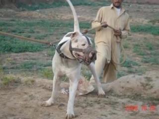 Pakistani Bully Dog Pappu and 9 Lakhiya.