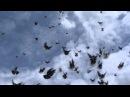 Старониколаевские торцовые голуби Фильм 7