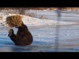 Этот медведь никогда не был так счастлив, пока не нашел тюк сена