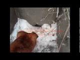 Охота с ягдтерьером и фокстерьером на норах