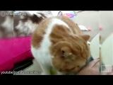 Коты дрессируют хозяев