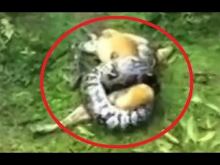 WATCH: Indian Man Saves Dog From Being Crushed By a Python | Man Rescues Dog From Snake Attack