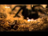 Лягушка (американский узкорот) и гигантский паук (птицеед)