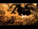 Лягушка американский узкорот и гигантский паук птицеед