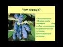 Жимолость Тонкости выращивания