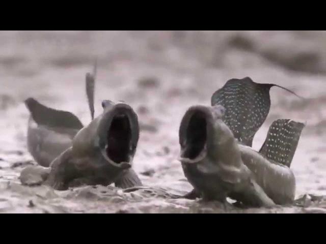 Орущие рыбы