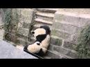 Настоящие кунг фу панды