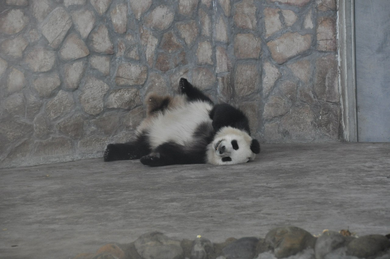 Панды спят в самых немыслимых позах