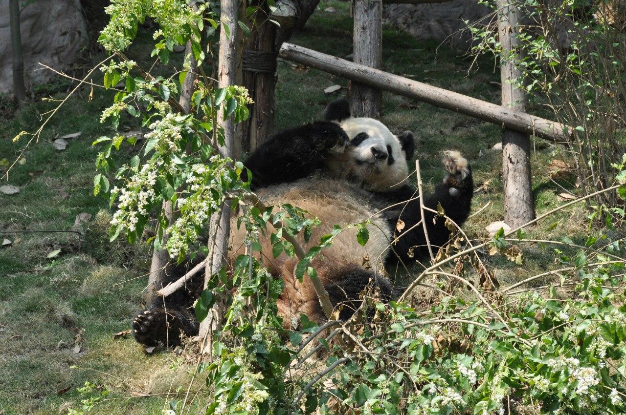Панда валяет дурака