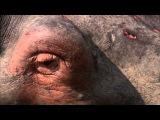 Гангстеры дикой природы: 1 серия (Бегемоты)