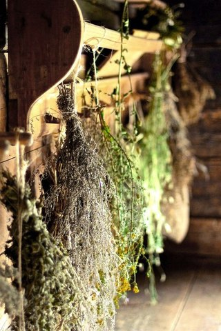Сушеница топяная - трава