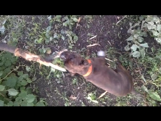 staffordshire bull terrier (Gerda)