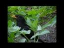 Черный дрозд (Turdus merula)