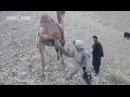 Афганский верблюд пнул американского солдата