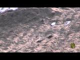 Курсинг по бультерьерски (Bull Terrier, lure coursing)