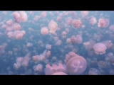 Swim With Millions of Jellyfish