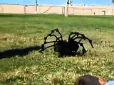 Самый большой и страшный в мире паук!!!